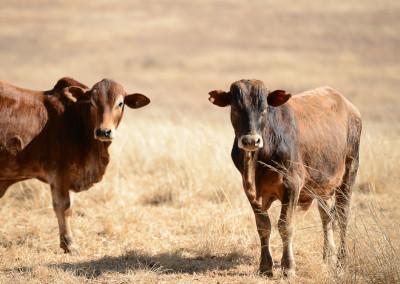 Calves watching us